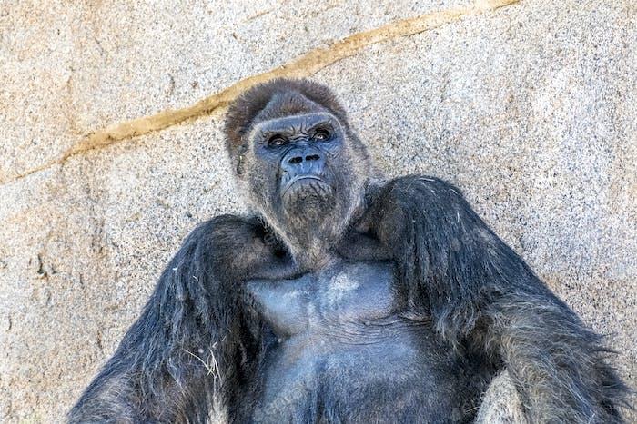 Autoritative Silverback Gorilla