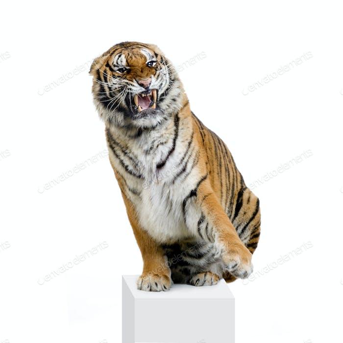 Tiger Snarling
