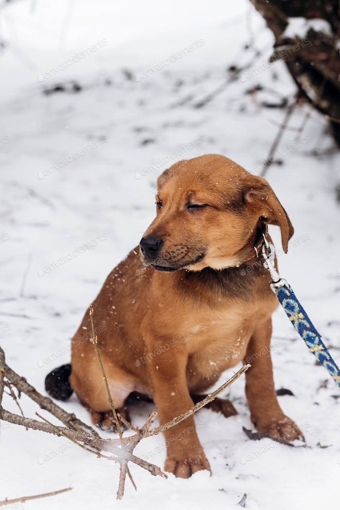 cute little brown puppy with leash walking in snowy cold winter park