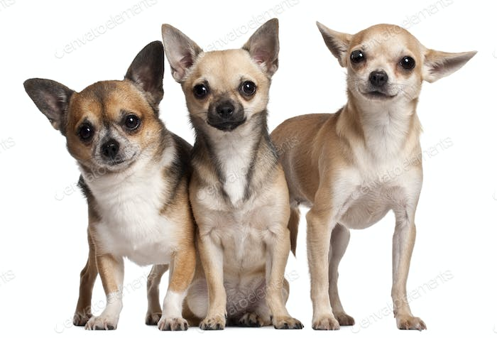 Three Chihuahuas, 6 months old, 3 years old, and 2 years old, in front of white background