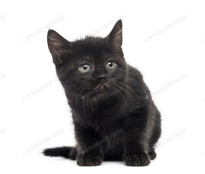 Black kitten in front of a white background