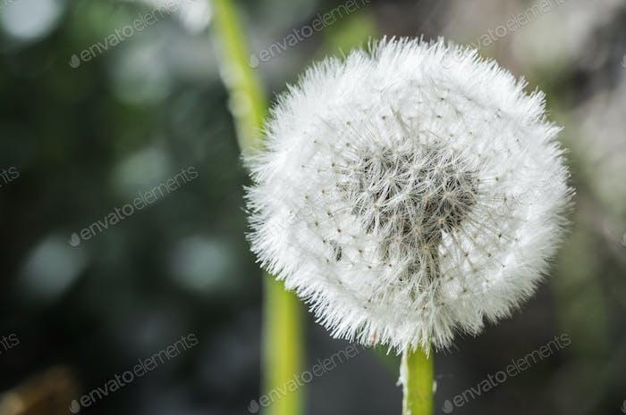 Dandelion Flower Head Macro Close Up