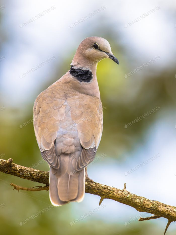 Cape turtle dove on branch