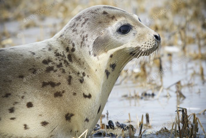 Close up of a Harbour Seal on shore.