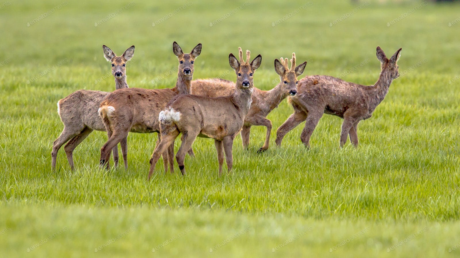 Mixed Group Of Roe Deer In Grassland Environment Photo By Creativenature Nl On Envato Elements