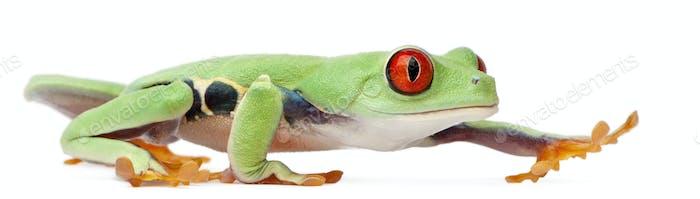 Red-eyed Treefrog, Agalychnis callidryas, walking in front of white background