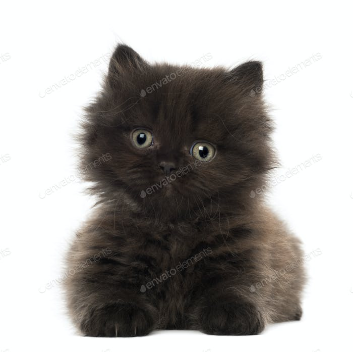 Portrait of British Longhair Kitten, 5 weeks old, against white background