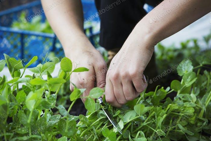 Eine Person, die frische grüne Salatblätter aus einer wachsenden Ernte pflücken.