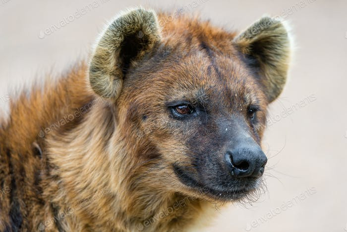 African black spotted hyena