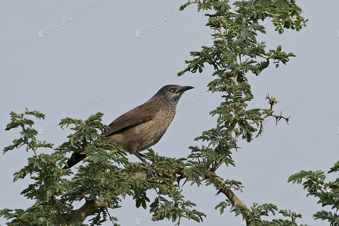Brauner Schläfer (Turdoides plebejus)