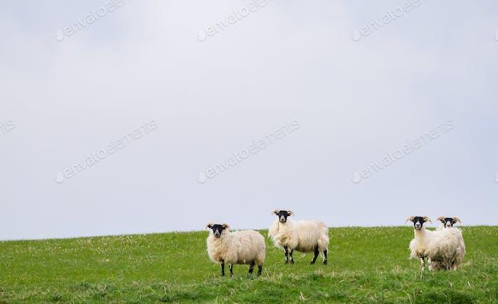 Schafe Weiden auf einem grasigen Feld in Schottland