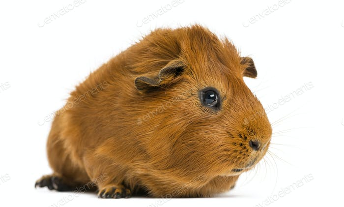Guinea pig, 1 year old, isolated on white