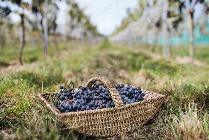 Basket with grapes in vineyard, grape harvest concept