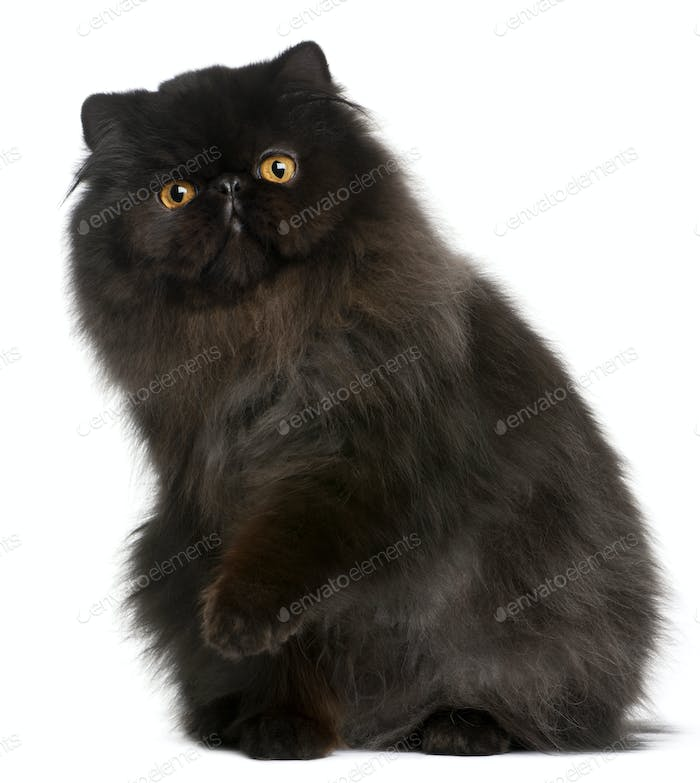 Persian cat, 9 months old, in front of white background