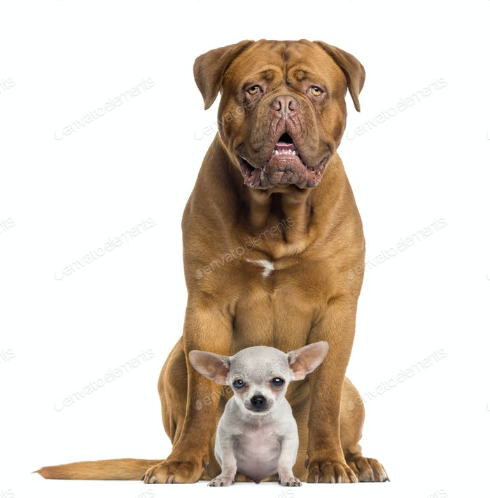 Dogue de Bordeaux and baby Chihuahua sitting, facing, isolated on white