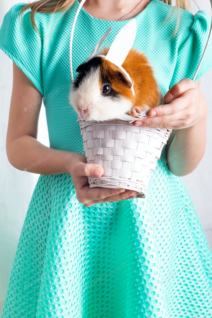 very caring little guinea pig in white basket with his friend. Love for animals lifestyle