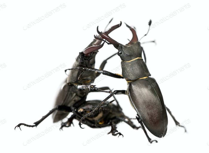 Male European Stag beetles fighting, Lucanus cervus, against white background, studio shot