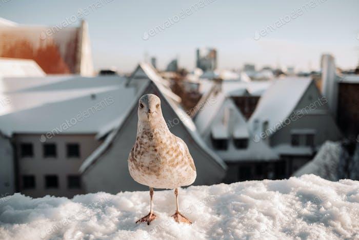 Seagull with winter Tallinn at the background, Estonia