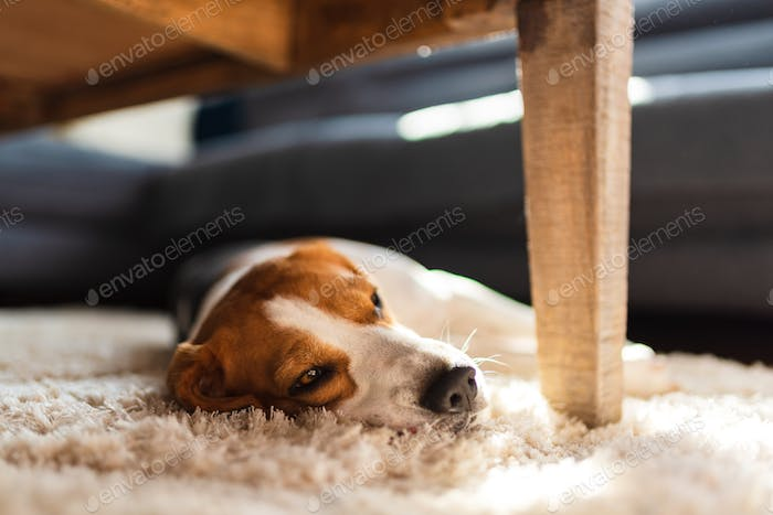 Beagle dog tired lying down under a table on the carpet floor. Adorable canine background