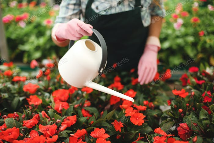 Photo of woman hands in pink gloves holding watering can and water the flowers in greenhouse