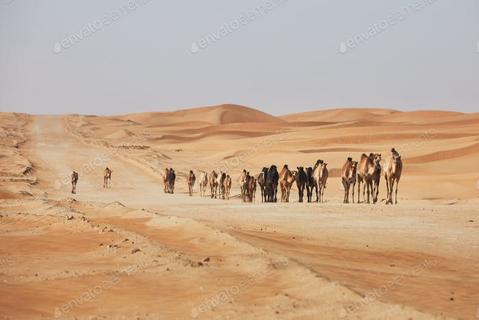 Herd of camels walking on sand road
