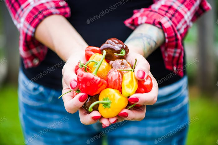 Woman hands holding colorful peppers in garden