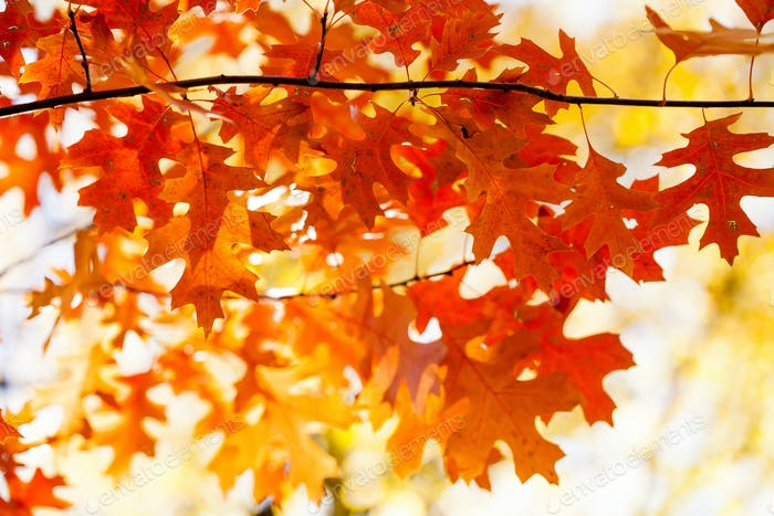 Autumn background with red oak tree foliage branch. Bright fall leaves close-up. Beautiful colorful