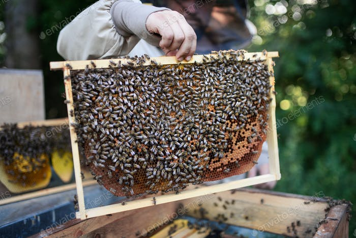 Unrecognizable man beekeeper holding honeycomb frame full of bees in apiary