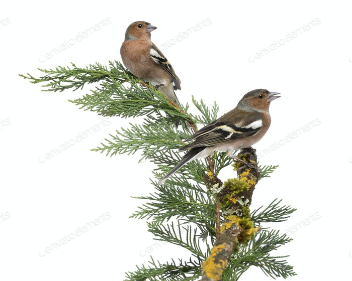 Two Common Chaffinch Males - Fringilla coelebs - perched on a green branch, isolated on white