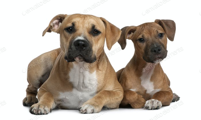 Two American Staffordshire terriers, 4 months and 9 months old, in front of white background