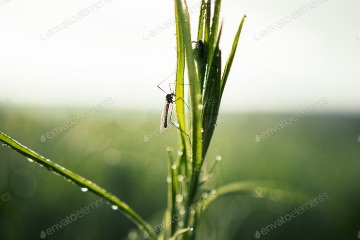 Close up of Fly Insect with long legs sitting on rich green grass with water dew drops