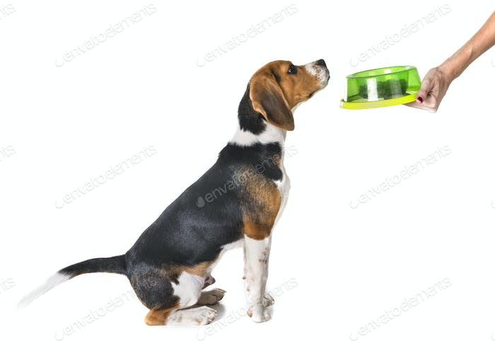 Welpen Beagle Essen