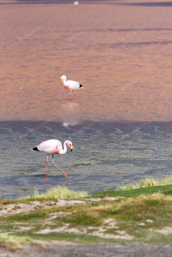 Ein Flamingo in Laguna Colorada, ein Salzsee im Südwesten des Altiplano in Bolivien