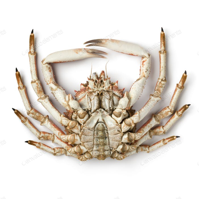 Bottom of a fresh raw male spider crab