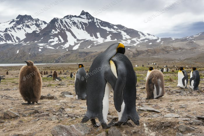 King Penguins, Aptenodytes patagonicus, in a  bird colony