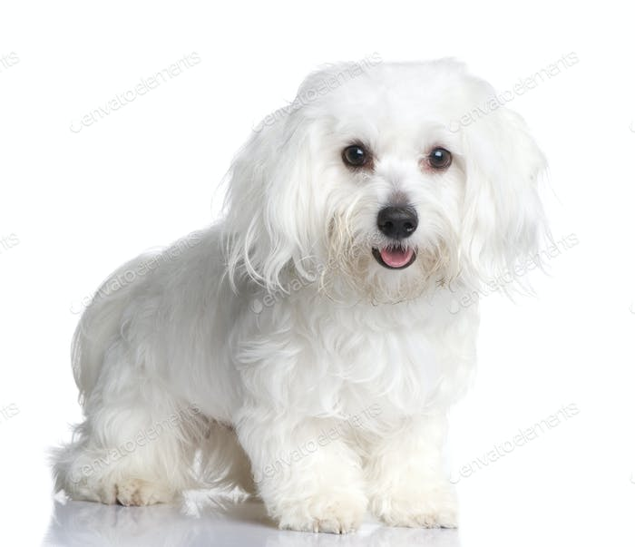 maltese dog (1 year)