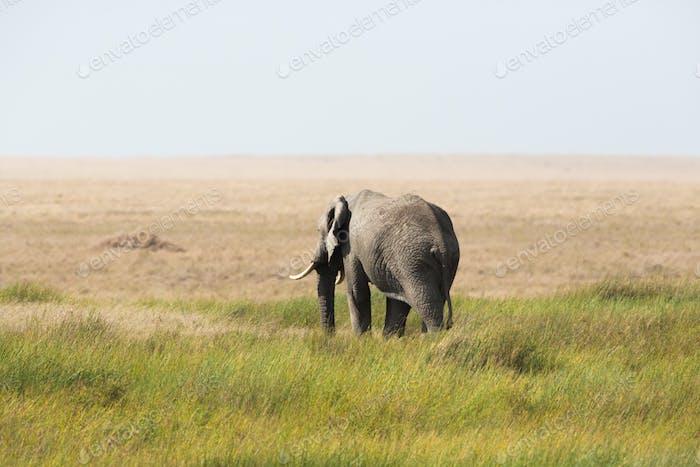 Elephant walking in Sereangeti