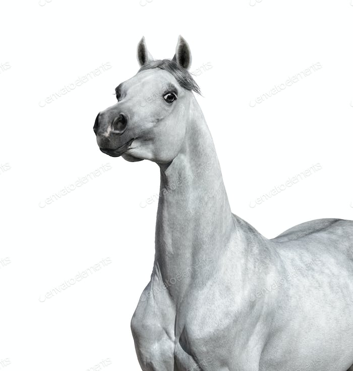 Gray Arabian horse on white background