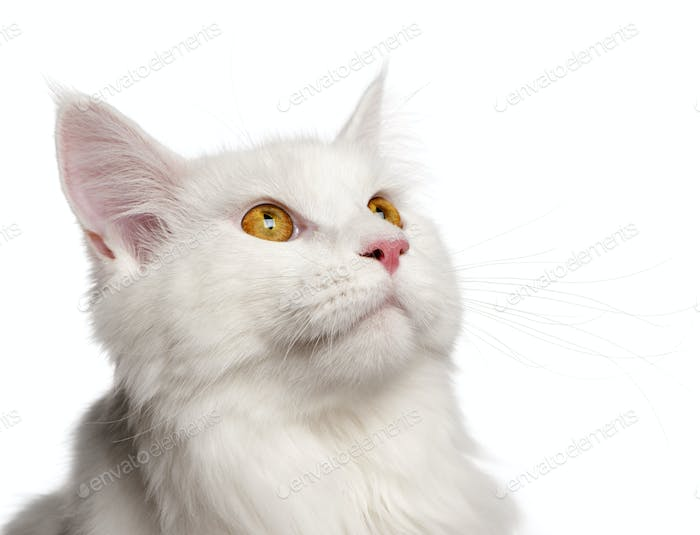 Maine Coon cat, 8 months old, portrait in front of white background