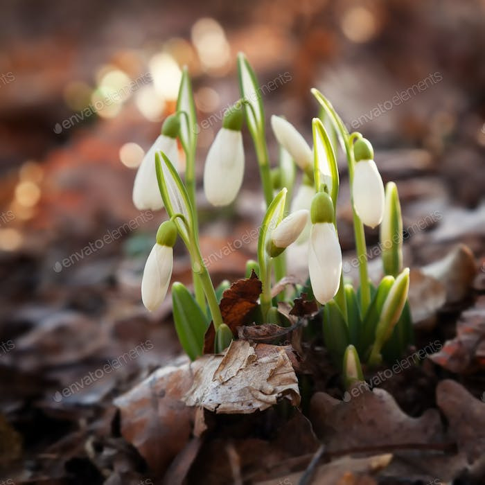 Forest snowdrops