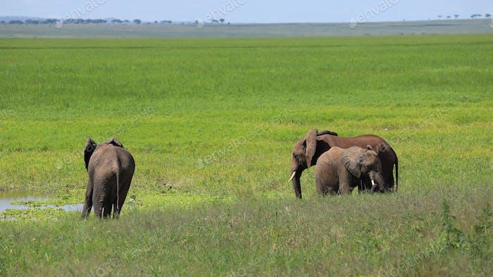 Família de elefantes andando em safári no Parque Nacional Tarangire da Tanzânia.