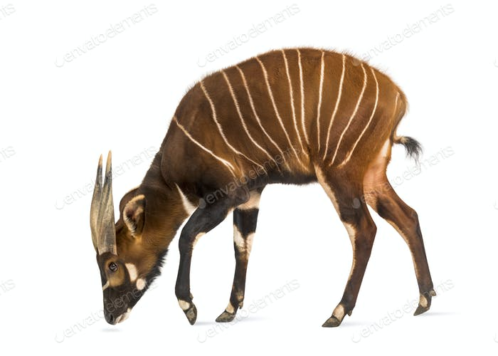Bongo, antelope, Tragelaphus eurycerus standing against white background