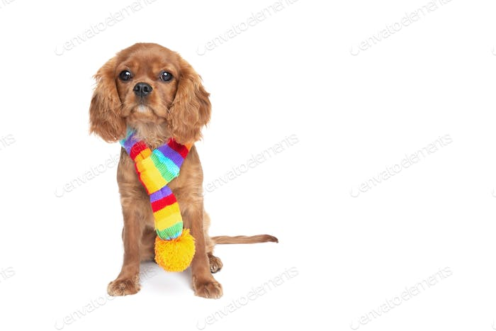 Puppy of king charles cavalier spaniel in scarf isolated on white