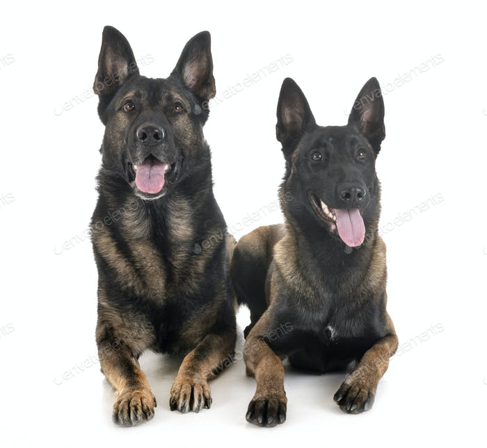 malinois and german shepherd