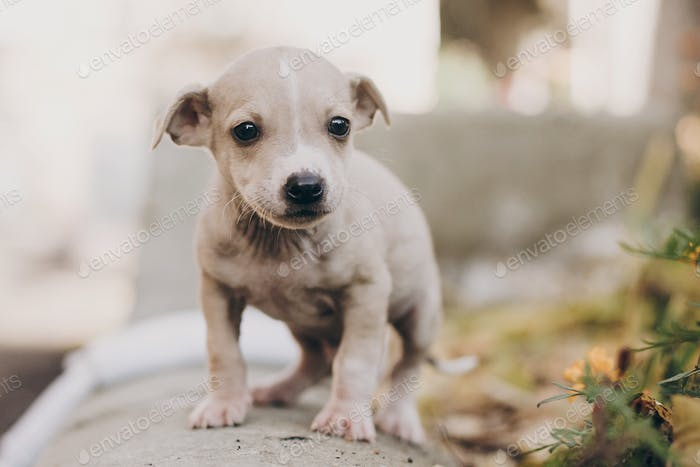 Scared homeless staff terrier beige puppy playing in city street