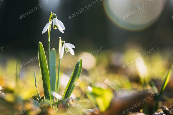 Snowdrop flower on spring meadow