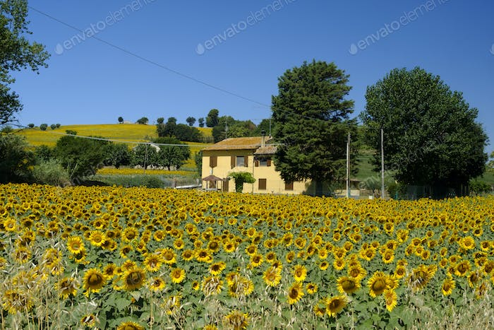 Summer landscape near Corinaldo (Marches, Italy)