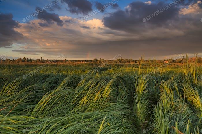 Landschaft mit Sumpf überwuchert Segge
