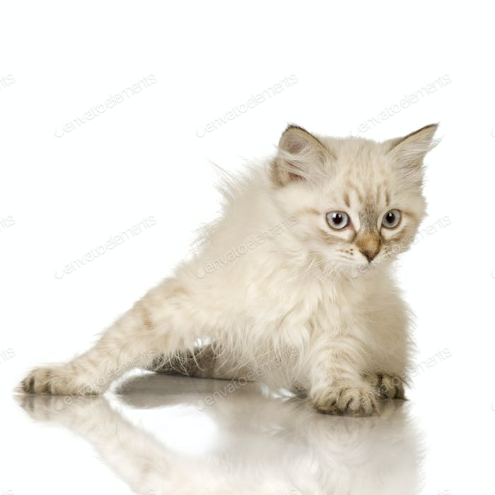 Blu-tabby-point Birman Kätzchen