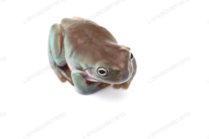 blauer Riesenfliegende Frosch isoliert auf weißem Hintergrund